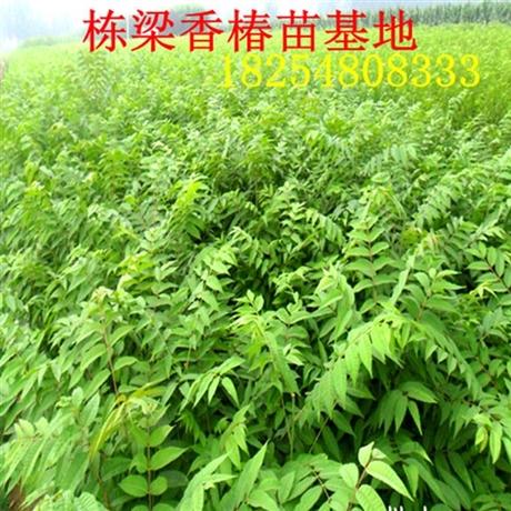 红油香椿苗价格香椿小苗产品介绍