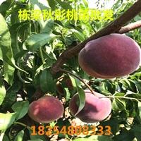 早熟鲁红618桃树苗多少钱一棵