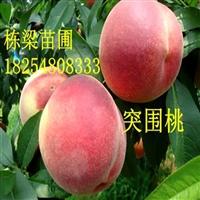桃树苗什么品种好