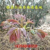 香椿苗基地香椿种苗图片