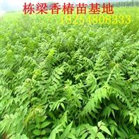 大棚专用香椿树苗价格大棚专用香椿种苗效益