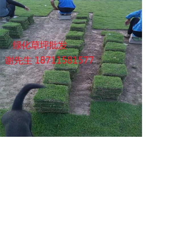 贵州马尼拉草坪苗木基地