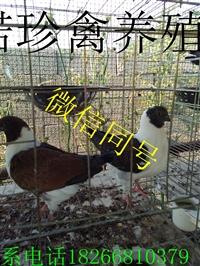 观赏鸽子图片大全观赏鸽多少钱一对