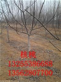 3公分核桃树苗哪里有 3公分4公分5公分核桃树价格