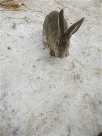 肉兔的品种分类 肉兔价格