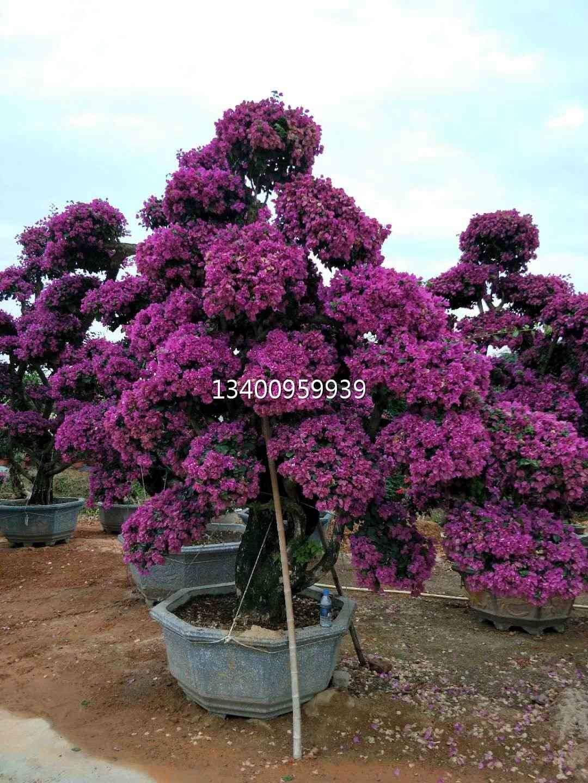 海南紫花三角梅 海南三角梅大型采购场 海南紫花三角梅精品苗木