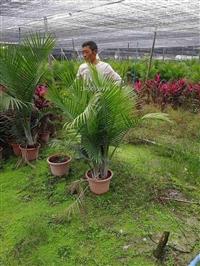 云南国王椰子 云南国王椰子园林绿化盆景 云南国王椰子高度1米