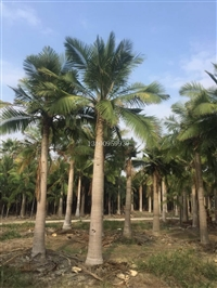 贵州国王椰子 贵州成株高的国王椰子 贵州国王椰子头径40公分