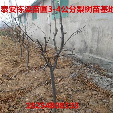 4公分梨树苗供应商4公分梨树苗基地