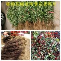 大红袍花椒小苗零售大红袍花椒小苗多少钱一棵