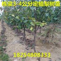 爱宕梨树苗供应商爱宕梨树小苗多少钱一棵