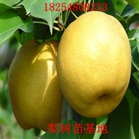 嫁接梨树苗供应商梨树成品苗价格