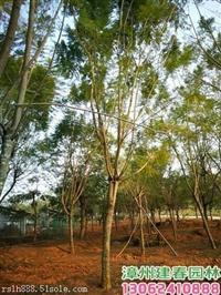 2018福建漳州藍花楹價格造型小葉榕高度5米三角梅高山榕袋苗價格