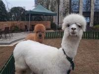 羊驼出租羊驼展览羊驼出售动物租赁公司