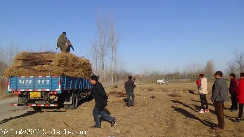 河北省今年占地苗多少钱一株