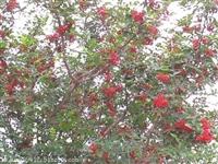 哪有大红袍花椒苗