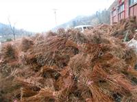 湖北恩施利川供应产地水杉树苗 金叶水杉苗 水杉盆景 水杉批发价
