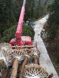 湖北柳杉树价格5至15公分柳杉产地批发土球完整成活率高