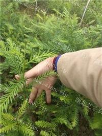 湖北恩施北美红杉树苗批发 扦插北美红杉苗价格直销 北美红杉种植
