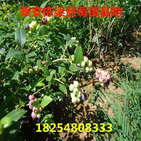 贵州蓝莓苗批发蓝莓种苗价格