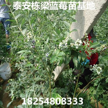 蓝莓苗新品种山东蓝莓苗基地