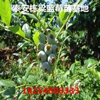 蓝莓树苗产品介绍泰安蓝莓树苗批发