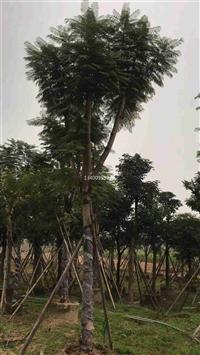 上海蓝花楹 上海蓝花楹苗圃种植基地 上海工程绿化风景树蓝花楹