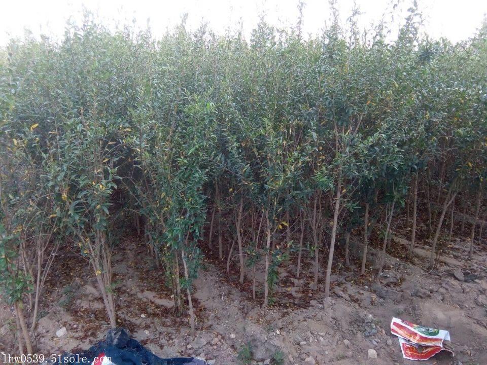 突尼斯软籽石榴苗  基地石榴苗  批发石榴苗 价格石榴苗