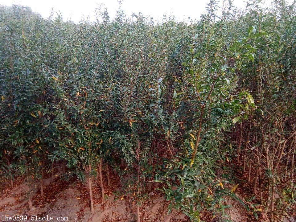 山东石榴苗基地  软籽石榴苗批发价格  石榴苗种植基地