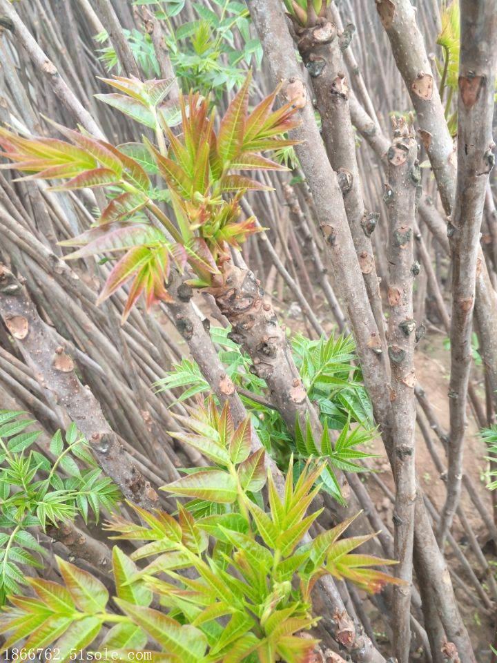 香椿苗基地 矮化香椿苗种植基地