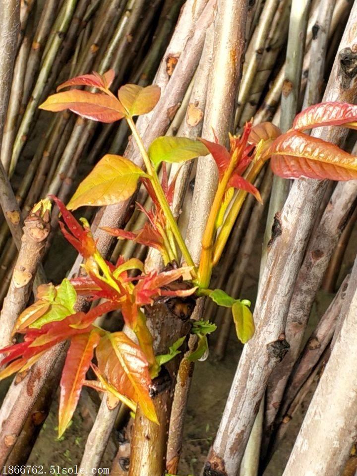 香椿苗种植基地 香椿苗品种
