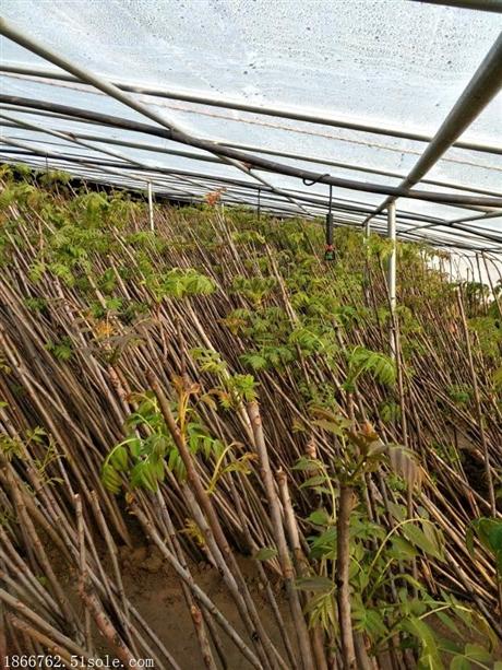 优质香椿苗供应商  香椿苗批发基地 香椿苗直销基地