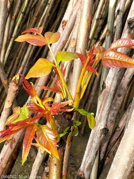大棚红油香椿苗批发基地