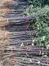 花椒苗大红袍花椒苗 花椒苗的培育方法 花椒苗批发价格