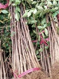 花椒苗大红袍花椒苗批发 基地常年销售大红袍花椒树 批发优质