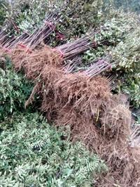 花椒苗大红袍花椒苗批发 基地常年销售大红袍花椒树 现挖现卖
