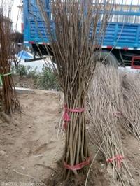 优质石榴苗种植基地  软籽石榴苗批发基地  石榴苗基地