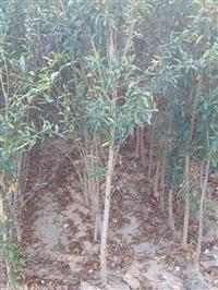 石榴苗 突尼斯软籽石榴树苗价格 软籽石榴树苗基地