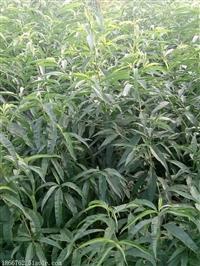 高产量桃树苗基地
