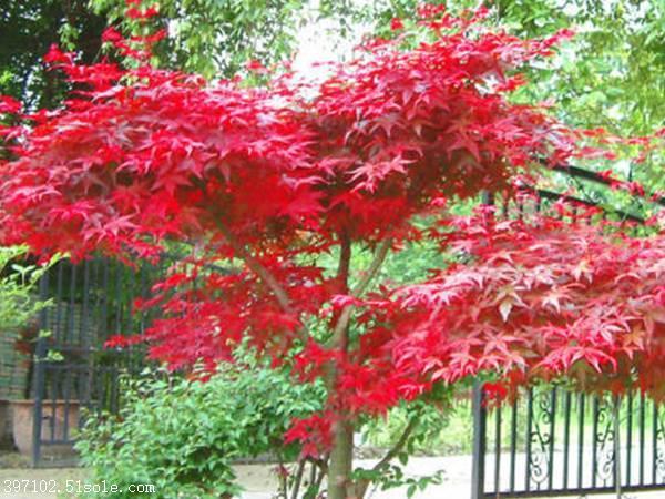 热销日本红枫树苗厂家 红枫树苗种植