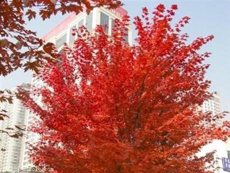美国红枫树 日本红枫 北美红枫 中国红枫嫁接