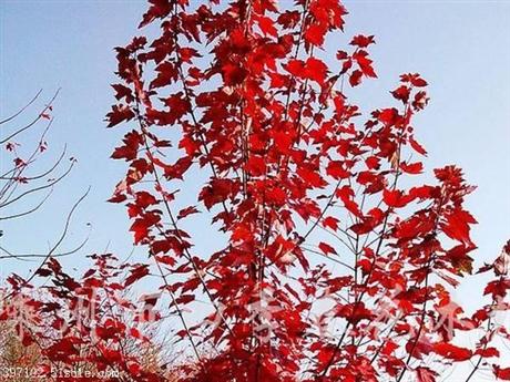 红枫树苗批发美国红枫小苗庭院盆栽花卉植物
