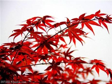 长期供应日本红枫树 美国红枫小苗