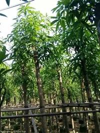 广西南宁扁桃树供应