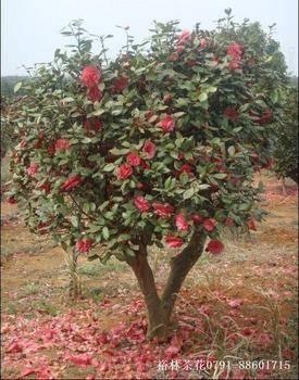 重庆巴南创绿整片茶花球红枫树腊梅花北碚静观基地