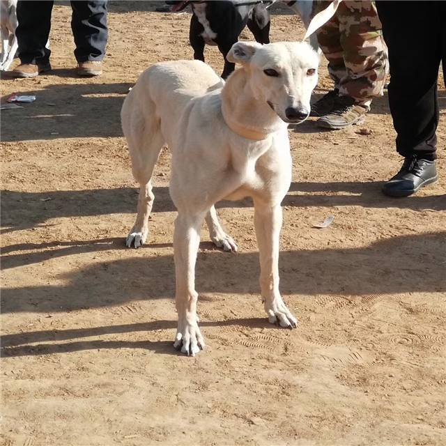 格力犬幼崽格力犬价格
