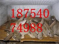 临沂獭兔多少钱一组绍兴在肉兔价格