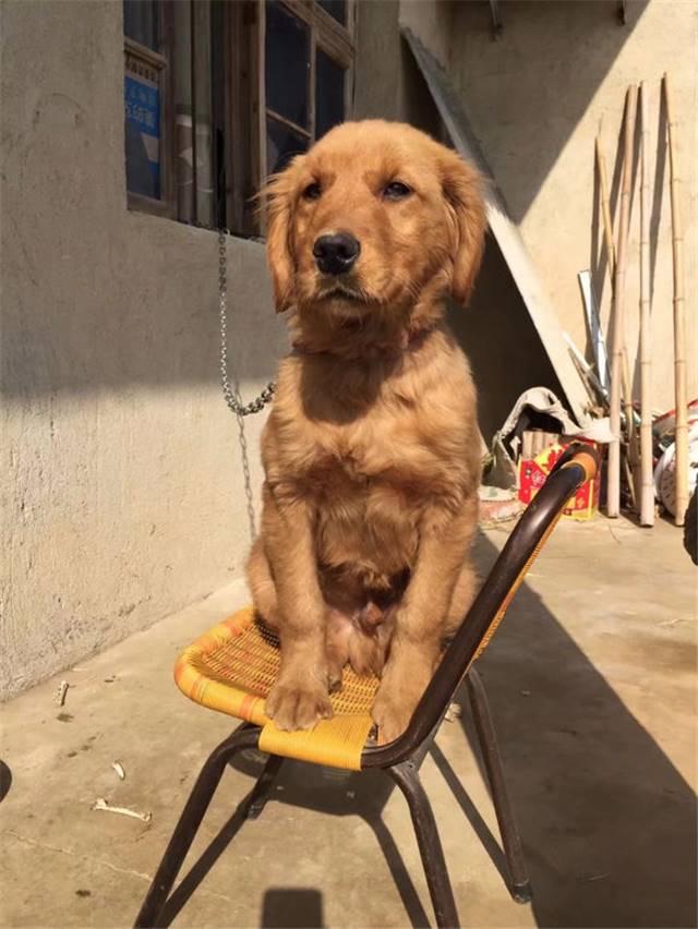 普通金毛犬多少钱一只