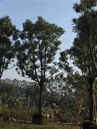 重庆香樟 重庆香樟大型种植场 重庆园林景观常绿乔木