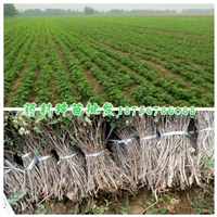 何首乌苗产地批发/何首乌种苗一亩地种植多少公斤